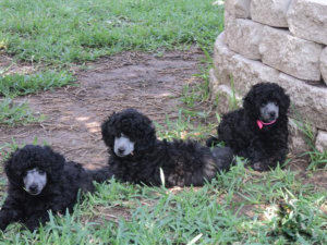 <photos of poodle puppies>