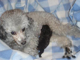 Silver Toy Poodle Puppy with Mother