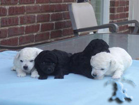 White and Blue Poodle Puppies