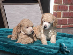 Apricot Poodle Puppies