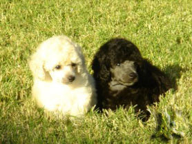 White and Silver Toy Poodle Puppies